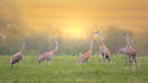 Urgent Action Alert: Sandhill Cranes are being considered for recreational trophy shooting!