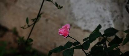 My Mpm Rose.jpg