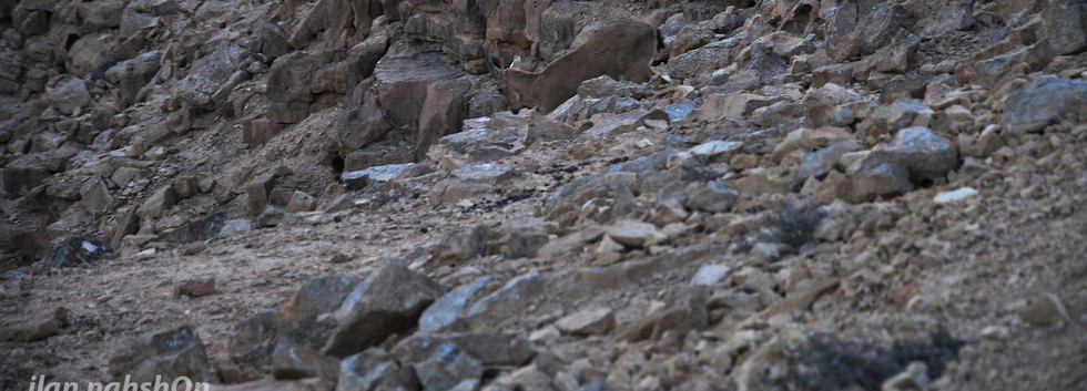 יָעֵל במצפה רמון  Mitpe Ramon ibex