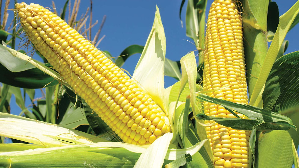 Sweet Corn 甜玉米