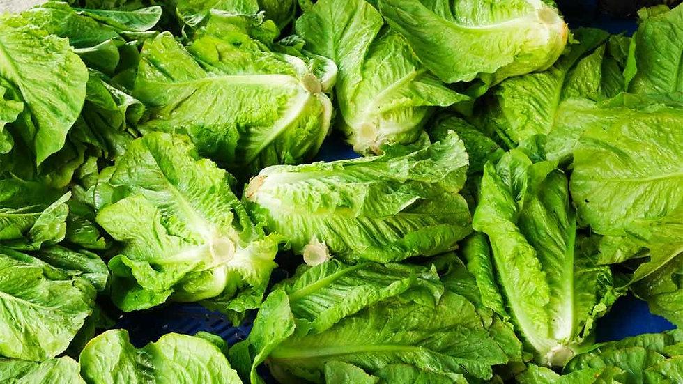 Romaine Lettuces 美国生菜