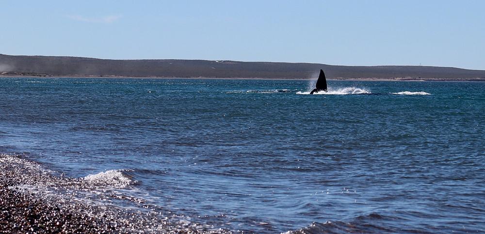 Les baleines à seulement quelques metres du bord