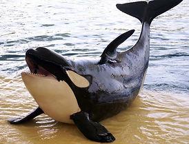 Tekoa Orca Board