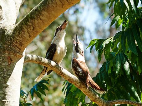 Breakfast with the Kookaburras
