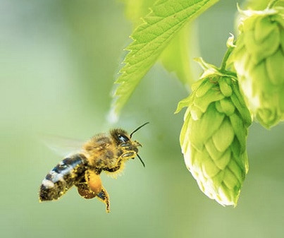 Why does a Brewery care about bees?
