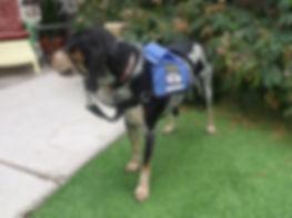 Albuquerque, Service Dog Training, Behavior Rehabilitation, Dog Training, Dog Aggression, Fearfulness, PTSD, Destruction, Veteran, Military, Therapy Dog, Socialization, In- Home Training, Emotional Support Dog, Companion Dog, Anxiety, Barking, Aggression