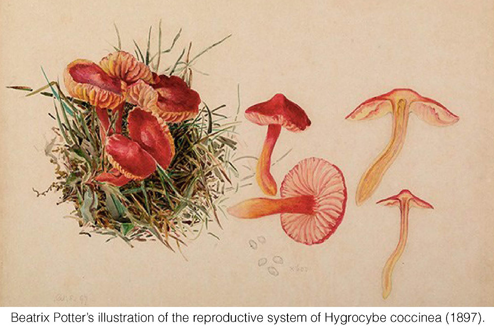 Beatrix Potter's illustration of the reproductive system of Hygrocybe coccinea (1897).