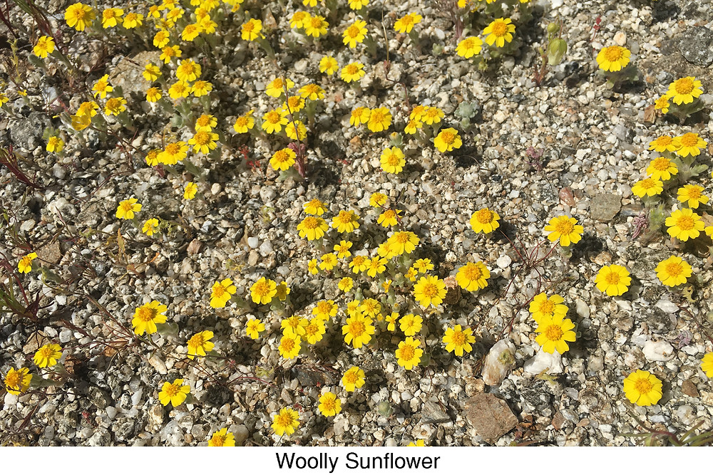 Wooly Sunflower