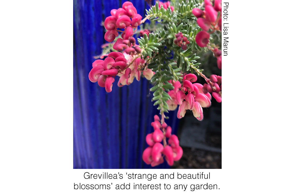 Grevillea's 'strange and beautiful blossoms' add interest to any garden. Photo courtesy of Lisa Marun.