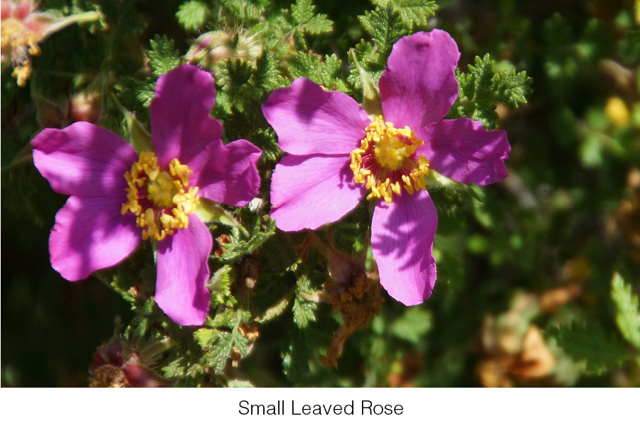 The small-leaved rose is no longer found in the wild in California.