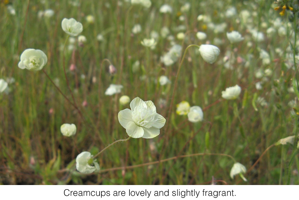 Creamcups are lovely and slightly fragrant.