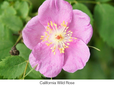 GOING WILD WITH NATIVES: A Rose is a Rose…