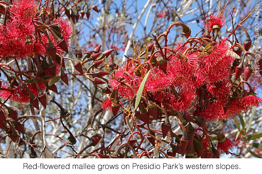 Red-flowered mallee grows on Presidio Park's western slopes. Image courtesy of Casliber.