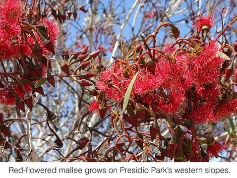 GUEST COLUMNIST: Presidio Park's Eucalyptus Collection