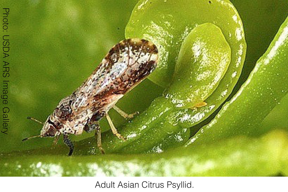 Adult Asian Citrus Psyllid. Image source: USDA ARS Image Gallery
