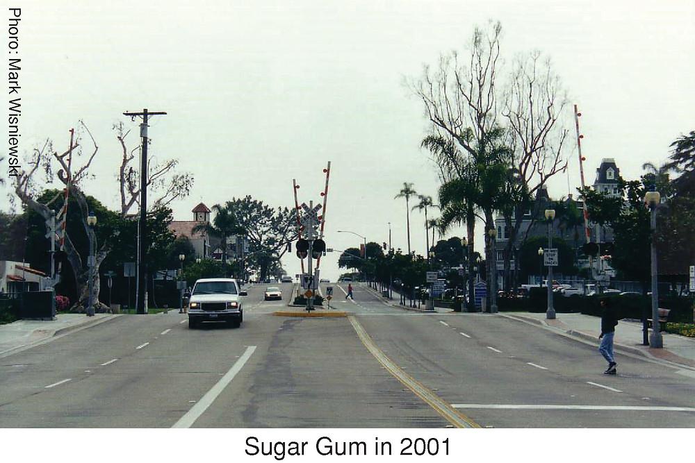 Sugar Gum in 2001.  Photo credit: Mark Wisniewski