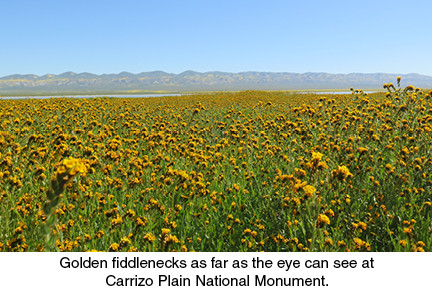 Golden fiddlenecks as far as the eye can see at Carrizo Plain National Monument.