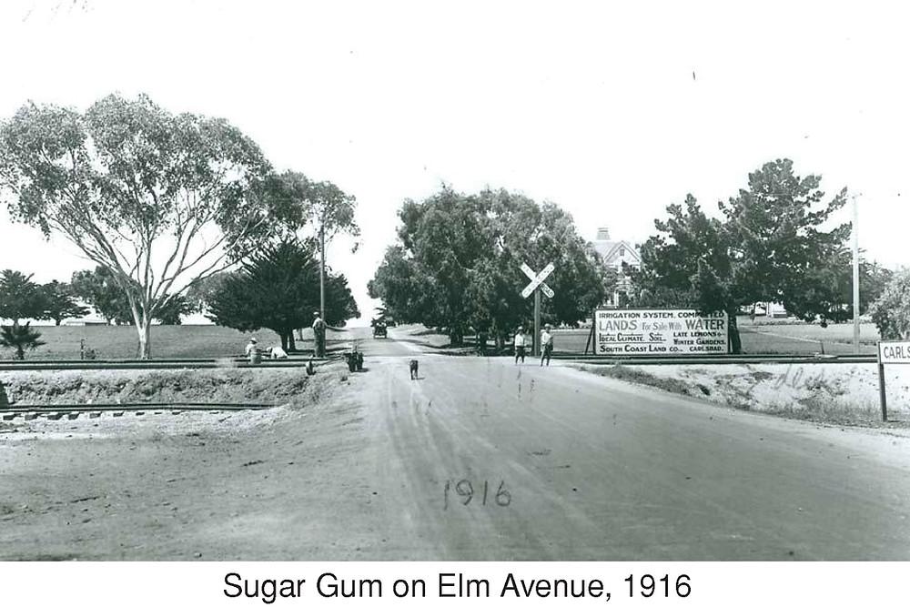 Sugar Gum on Elm Avenue, 1916
