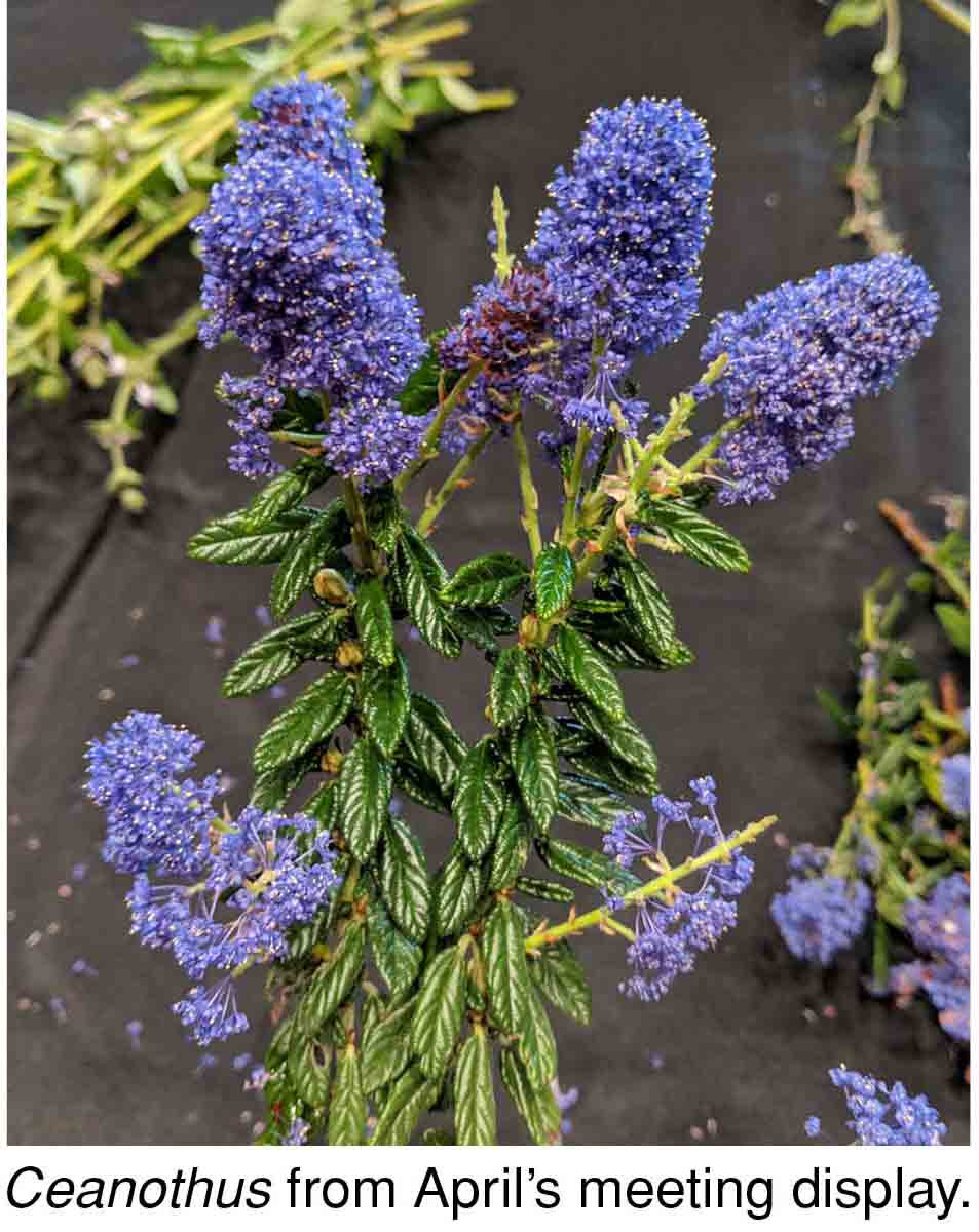 Ceanothus from April's meeting display.