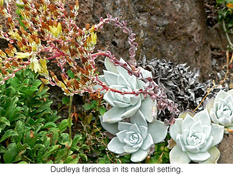 GOING WILD WITH NATIVES: Dudleya Poaching