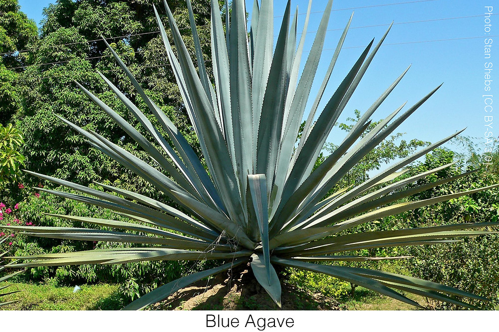 Blue Agave.  Photo Credit: Stan Shebs [CC BY-SA 3.0]