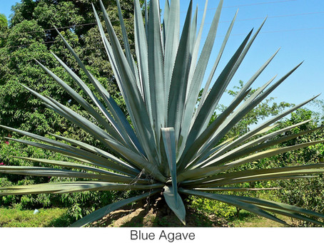 THE UNDERSTORY: The Tequila Agave