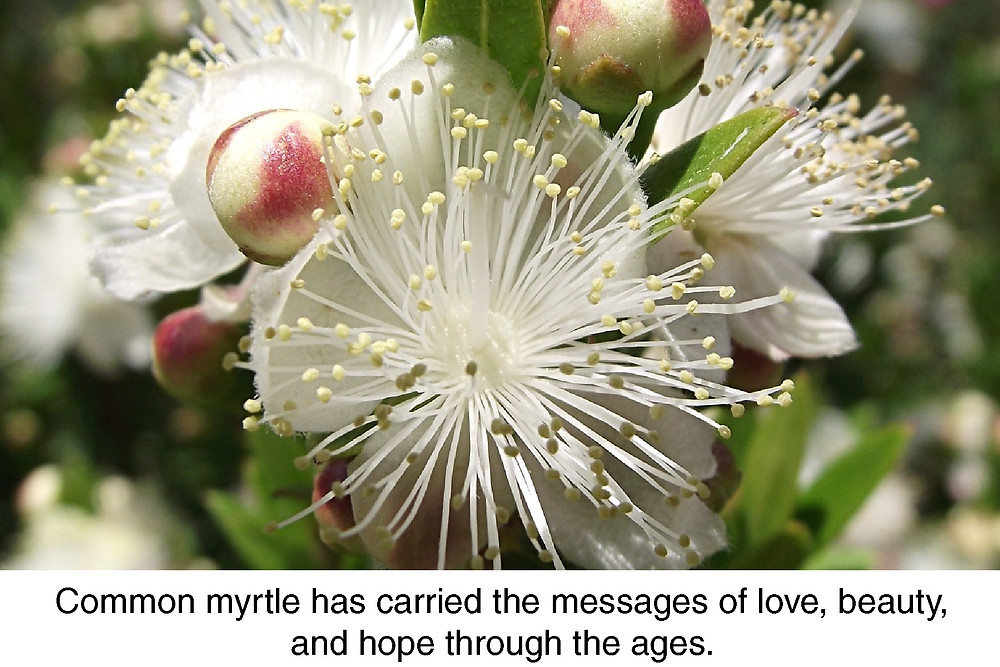 Common myrtle has carried the messages of love, beauty, and hope through the ages.