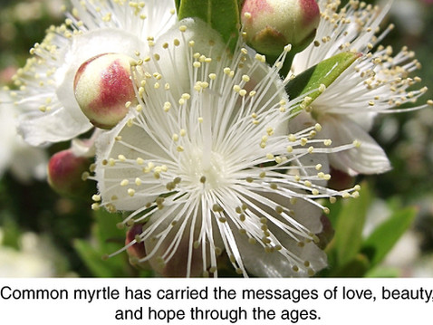 PLANT OF THE MONTH: Common Myrtle is Not Just for Royalty
