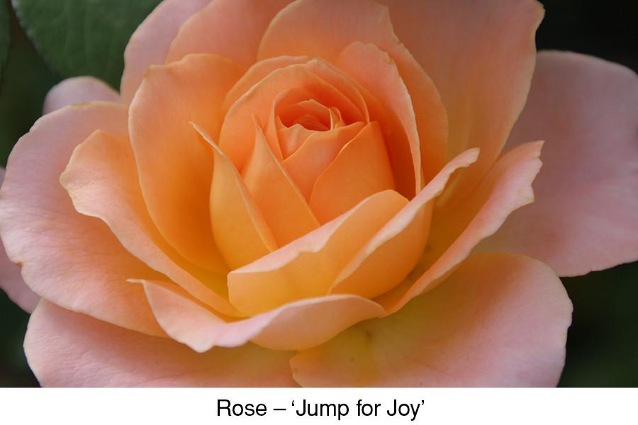 Rose Jump for Joy