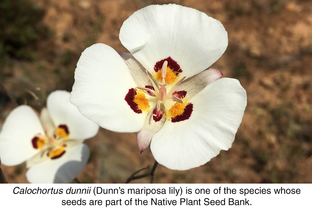 Calochortus dunnii (Dunn's mariposa lily) is one of the species whose seeds are part of the Native Plant Seed Bank.