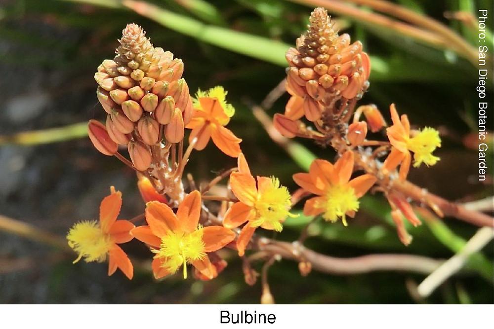Bulbine.  Attibution [San Diego Botanic Garden]