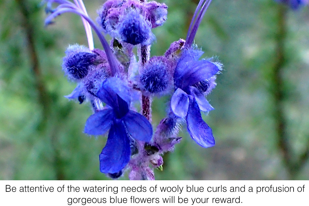 Be attentive of the watering needs of wooly blue curls and a profusion of gorgeous blue flowers will be your reward.