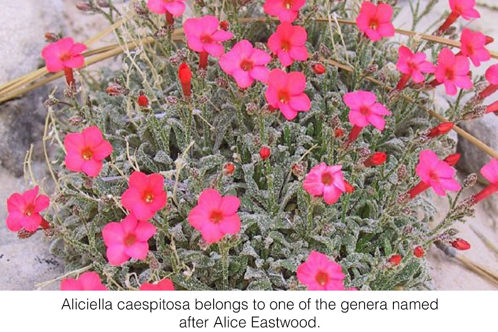Aliciella caespitosa belongs to one of the genera named after Alice Eastwood.
