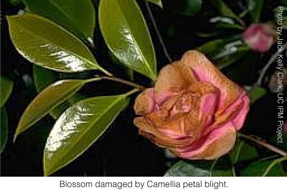 Blossom damaged by Camellia petal blight. Photo by Jack Kelly Clark, UC IPM Project.