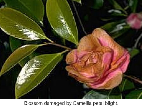 THE UNDERSTORY: Blighted Camellias
