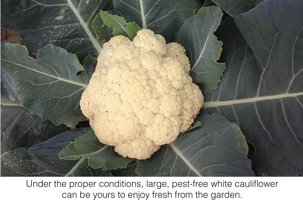 Under the proper conditions, large, pest-free white cauliflower can be yours to enjoy fresh from the garden.