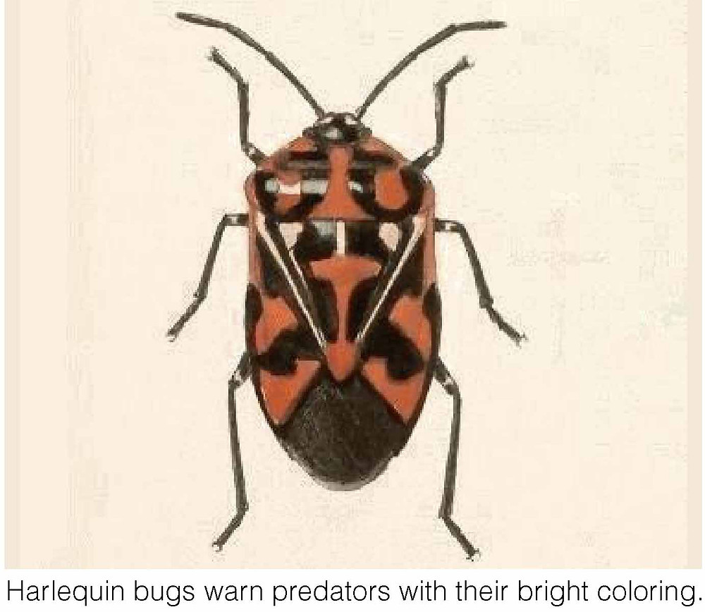 Harlequin bugs warn predators with their bright coloring.