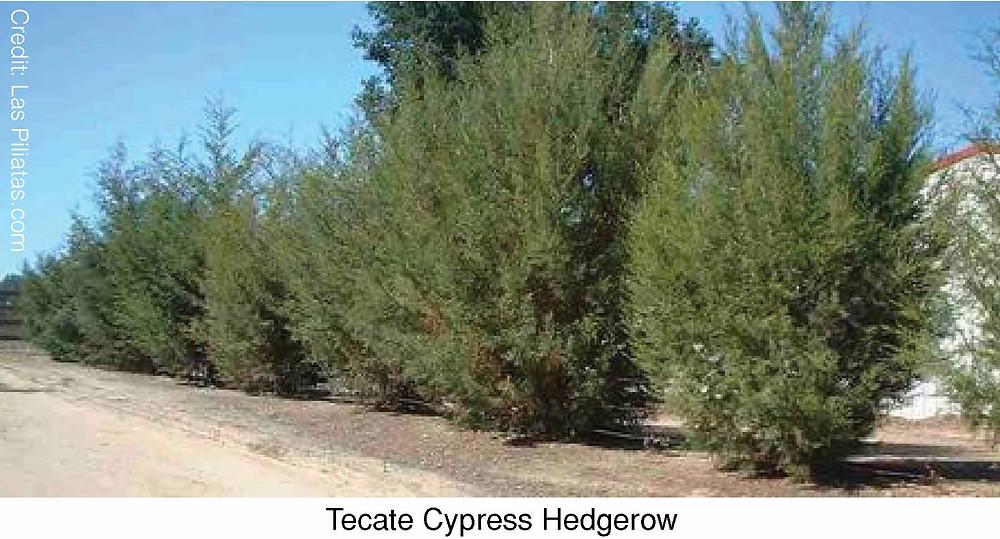 Tecate Cypress Hedgerow.  Credit: Las Piliatas.com