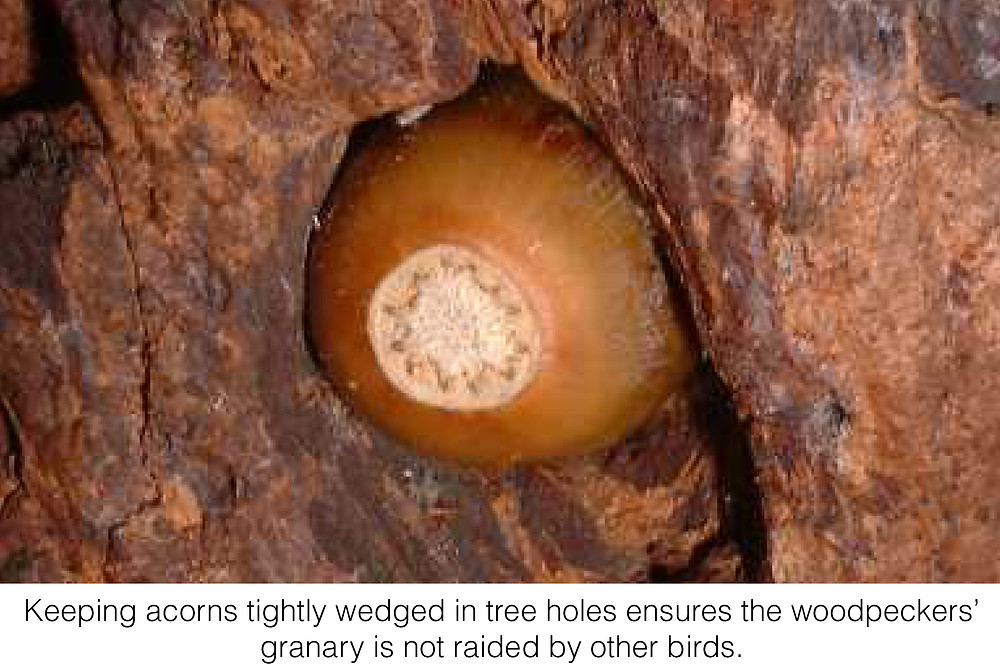 Keeping acorns tightly wedged in tree holes ensures thw woodpeckers' granary is not raided by other birds.