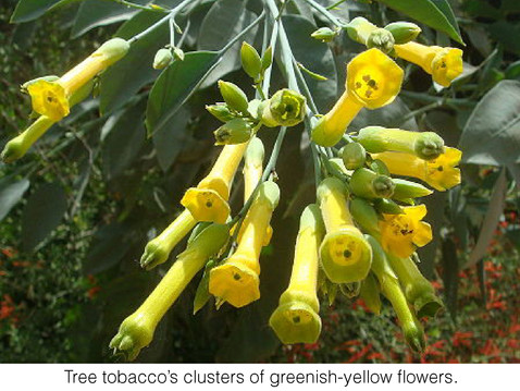 TREES, PLEASE: Space Invaders: Keep an Eye Out for Tree Tobacco