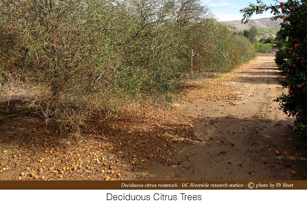 Deciduous Citrus Trees.