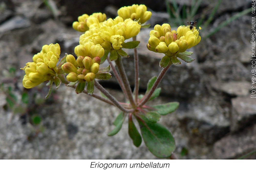 << Rachel: plant name should be in italics>>Eriogonum umbellatum. Photo attribution: Walter Siegmund [CC BY-SA 3.0/)]