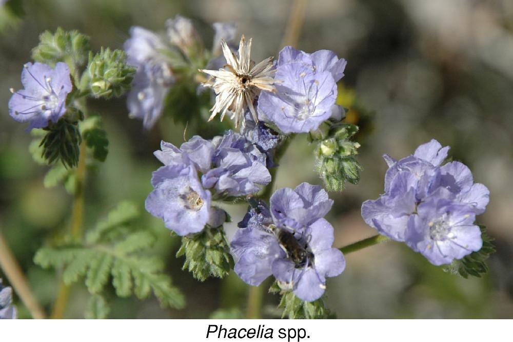 Phacelia spp.