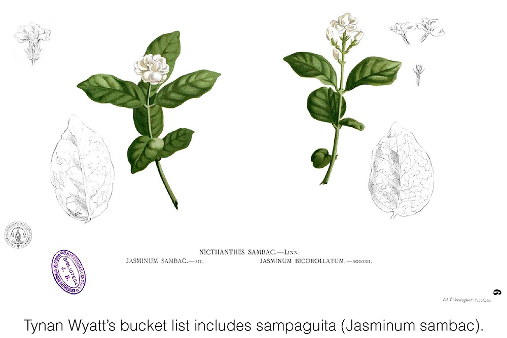 Tynan Wyatt's bucket list includes sampaguita (Jasminum sambac).