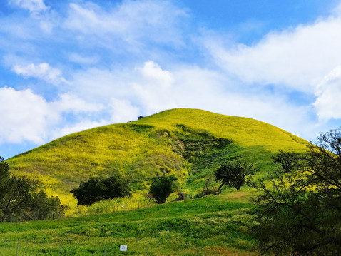 GOING WILD WITH NATIVES: Those Yellow Hills are Alive with…..?