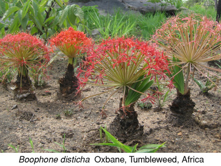 PLANT OF THE MONTH: Oxbane