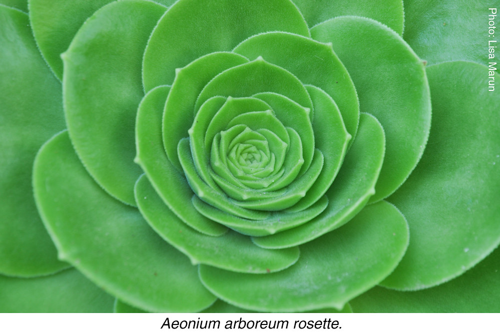 Aeonium arboreum rosette. Photo credit: Lisa Marun