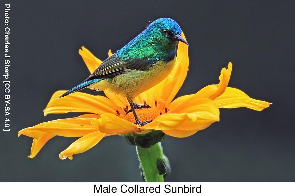 Male Collared Sunbird.  Photo credit: Charles J Sharp [CC BY-SA 4.0 ]