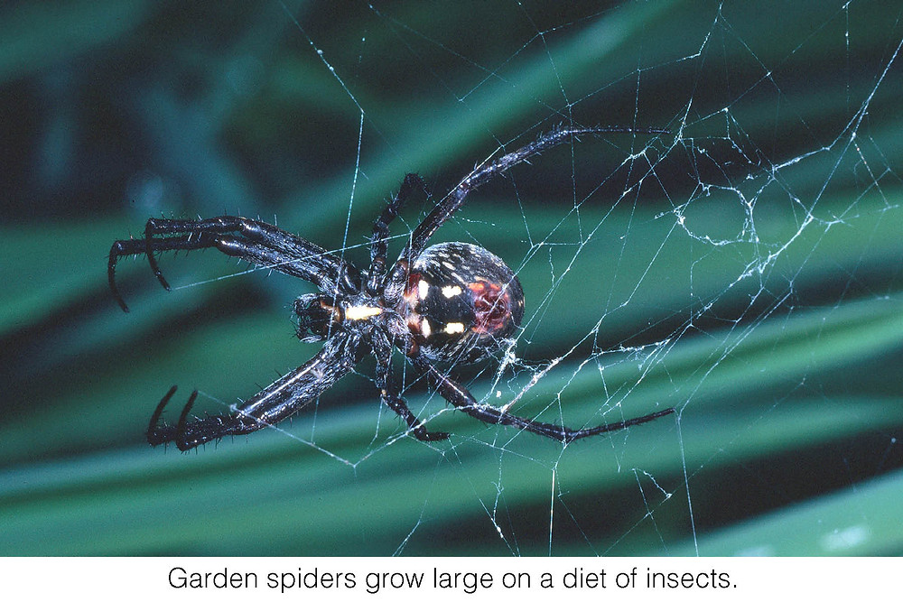 Garden spiders grow large on a diet of insects.