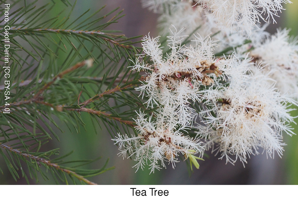 Tea Tree.  Attribution: Geoff Derrin. [CC BY-SA 4.0]